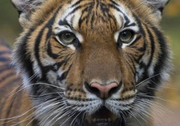 Bronx Zoo tiger has coronavirus; first known U.S. animal infection