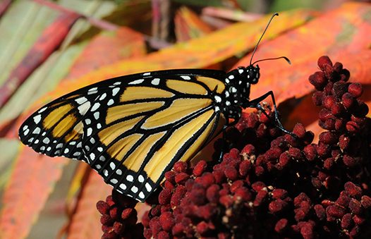 Monarch butterfly protection is delayed for years