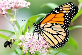 Endangered-species decision near on beloved butterfly